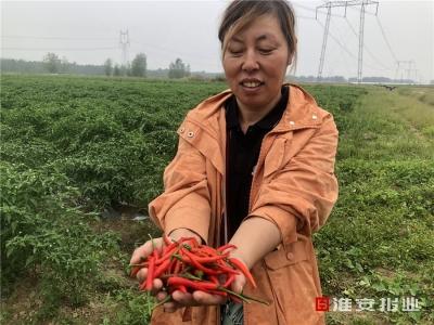 【走向我们的小康生活】马头镇:火红小辣椒 唱出丰收歌