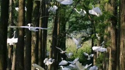 """金湖:湖光""""衫""""色鸟蹁跹 滩涂造林半百功"""