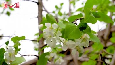 【暖心淮】共植海棠樹 感悟革命情