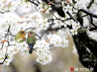 江蘇濱海:梨花綻放引客來
