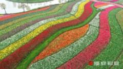 江蘇大豐:3000萬株郁金香的視覺盛宴