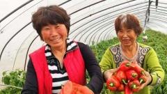 【奋斗百年路 启航新征程·同心奔小康】小小红椒能量大  映红农民致富路