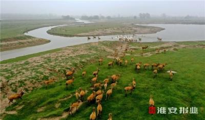 江蘇大豐麋鹿超過6000頭