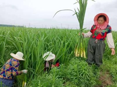 """江苏兴化:""""出水鲜""""让村民经营性收入和工资性收入双增长"""